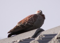 http://www.ymresourcer.com/Birds/Pics/Pigeon_Speckled_04_Small.jpg