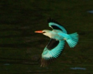 http://www.ymresourcer.com/Photos/Borakalalo5/Kingfisher_Woodland_Small.jpg