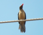 http://www.ymresourcer.com/Photos/Borakalalo5/Oxpecker_Red-billed_Small.jpg