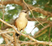 http://www.ymresourcer.com/Photos/Borakalalo5/Tchagra_Brown-crowned_Small.jpg