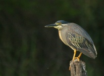 http://www.ymresourcer.com/Photos/Kgomo5/Heron_Green-backed_1_Small.jpg