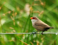 http://www.ymresourcer.com/Photos/Kgomo5/Waxbill_Common_Small.jpg
