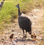 http://www.ymresourcer.com/Photos/Marievale24/Guineafowl_Helmeted_Chick_01_Small.jpg
