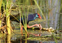 http://www.ymresourcer.com/Photos/Marievale24/Swamphen_African_Purple_2_Small.jpg